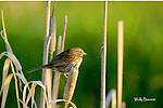SPARROW; song sparrow