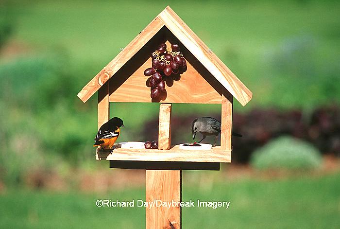 00585-03106 Baltimore Oriole (Icterus galbula) male & Gray Catbird (Dumetella carolinensis) on jelly & grape feeder Marion Co.  IL