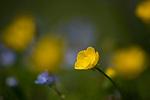 Meadow Buttercup, Ranunculus acris, Elmley Marshes, Kent UK, Elmley Nature Reserve