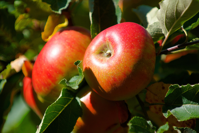 Fresh organic red apples on an apple tree