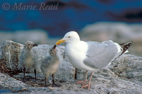 Herring Gull (Larus argentatus), chick begging by pecking at red spot on adult's bill, Appledore Island, Maine, USA<br /> Slide # B59-131