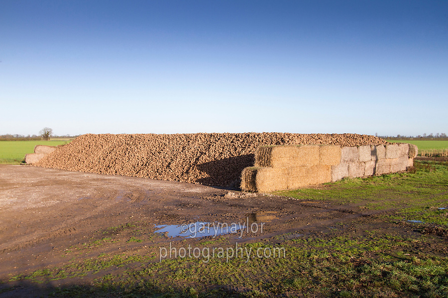 Large sugar beet clamp made from straw bales - November, Lincolnshire