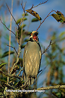 00706-00309 Yellow-crowned night-heron (Nyctanassa violaceus) yawning Everglades NP FL