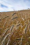 Wheatfield, central Oregon