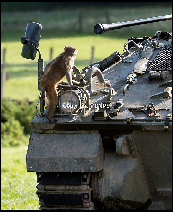 BNPS.co.uk (01202 558833)<br /> Pic: PhilYeomans/BNPS<br /> <br /> The macaque's were not intimidated by the 28 tonne vehicle...<br /> <br /> Longleat's infamous troop of mischievous monkeys, along with the parks other wiley inhabitants, have been wreaking havoc on unsuspecting motorists for decades.<br /> <br /> But even they were a little overwhelmed when they came face to face with the might of the British Army this week.<br /> <br /> Soldiers from the 1st Battalion The Yorkshire Regiment, based in nearby Warminster, took one of their Warrior armoured vehicles through some of the Wiltshire safari park's most notorious enclosures.<br /> <br /> And despite the animals obvious interest the 27.5 tonne, six-metre-long caterpillar tracked vehicle eventually emerged without a scratch.<br /> <br /> The Army were visiting the park ahead of a new military spectacular event which is taking place on the estate later this month.