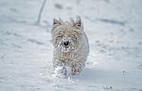 SNOW WEATHER PICTURE WALES<br /> Twm, a westie, plays in the snow in a field in Llandybie, Carmarthenshire, Wales, UK.