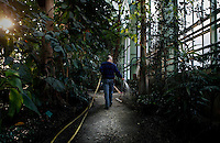 Tropical Rainforest Glasshouse (formerly Le Jardin d'Hiver or Winter Gardens), 1936, René Berger, Jardin des Plantes, Museum National d'Histoire Naturelle, Paris, France. View from behind of Karim, the gardener, watering the luxuriant Tropical plants, at the end of the day, in the Art Deco style building.