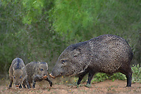 650520334 wild javelinas or collared peccaries dicolytes tajacu forage near a waterhole on santa clara ranch in starr county rio grande valley texas united states