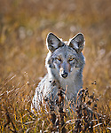 Coyote sitting in field in Yellowstone National Park