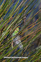 06361-00720 Common Green Darner Dragonfly (Anax junius)  newly emerged near exuviae in wetland, Marion Co., IL