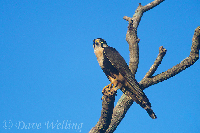 527550007 a wild aplomado falcon falco femoralis which is federally endangered in the united states stares out from its perch in a tall dead tree on a ranch in northeastern mexico