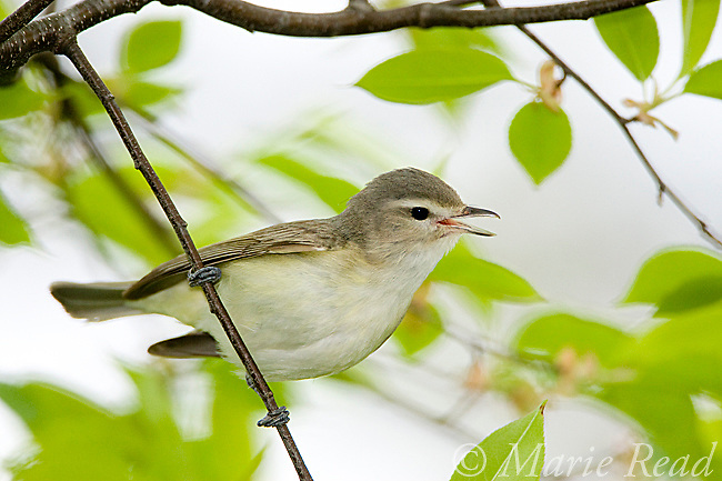 Warbling Vireo (Vireo gilvus) singing in spring, New York, USA