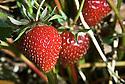 Strawberry 'Elsanta', late JUne.