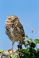 Burrowing owl, stands on wooden fence looking directly at viewer