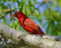 Adult male summer tanager eating large insect