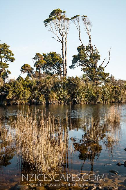 Native kahikatea trees in Gillespies Lagoon, Westland Tai Poutini National Park, West Coast, South Westland, UNESCO World Heritage Area, New Zealand, NZ