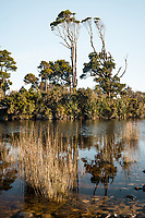 Native kahikatea trees in Gillespies Lagoon, Westland Tai Poutini National Park, West Coast, South Westland, UNESCO World Heritage Area, New Zealand, NZ