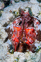 mantis shrimp being attended by many smaller squat cleaner shrimp, Thor amboinensis