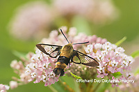 04005-00408 Snowberry Clearwing (Hemaris diffinis) on Swamp Milkweed (Asclepias incarnata) Marion Co. IL