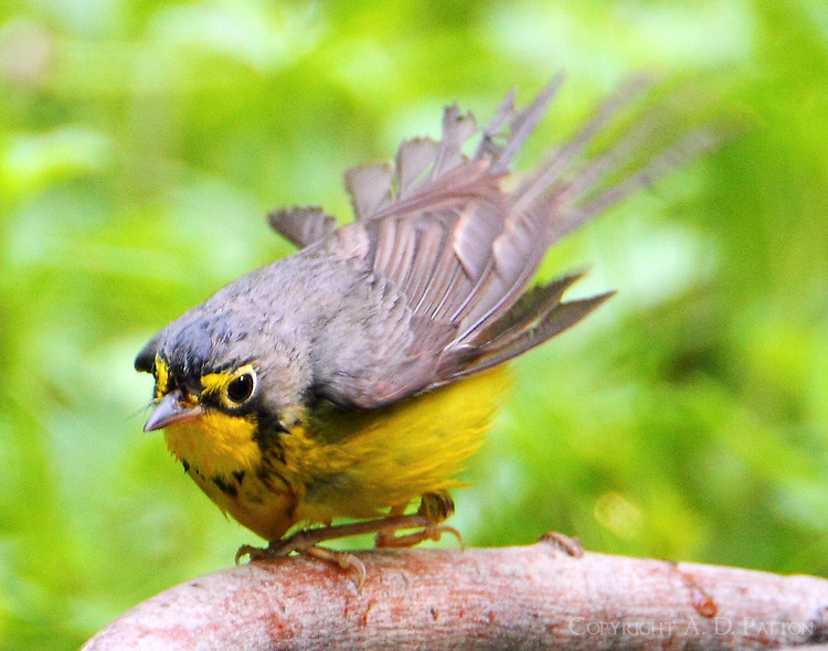 Male Canada warbler shaking off after bath