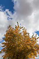 Morning sun lights the yellow leaves of a tree under a blue sky with fluffy clouds.