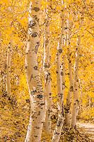 White Birch Trees at Fall at Zion National Park Utah