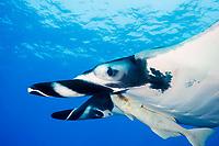 giant oceanic manta ray, Manta birostris, with remora, Remora albescens, San Benedicto, Revillagigedo Archipelago, Mexico, Pacific Ocean
