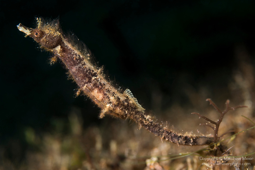 Dumaguete, Dauin, Negros Oriental, Philippines; a shortpouch pygmy pipehorse foraging for food while tucked into the sea grass on the sandy bottom