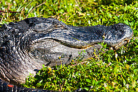 US, Florida, Everglades. Anhinga Trail Boardwalk. American alligator.