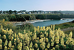 Yellow wildflowers with the view of Mendocino Village in the background, Mendocino California