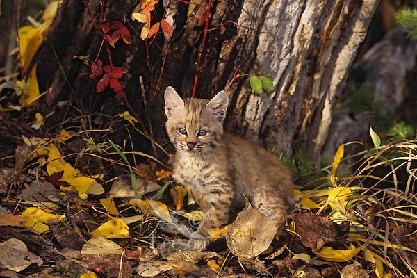 Bobcat kitten.  Western U.S., fall.