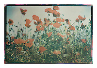 This is a 'one off' print using sensitized gum arabic and watercolor, a 19th. century photographic process. The print is on watercolor paper and is completely archival<br /> Each print can take up to four days to produce.<br /> This print is unique due to the process involved. I may however, produce the same basic image but with a different set of colors, though no more than ten examples.<br /> <br /> Prices on request