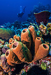 9 June 2015: A cluster of brown tube sponges (Agelas conifera) grow on the reef at Spanish Bay Reef, on the North Shore of Grand Cayman Island. Located in the British West Indies in the Caribbean, the Cayman Islands are renowned for excellent scuba diving, snorkeling, beaches and banking.  Mandatory Credit: Ed Wolfstein Photo *** RAW (NEF) Image File Available ***