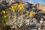 Tucson, Arizona; a Brittlebush (Encelia farinosa) plant with yellow flowers in early morning sunlight