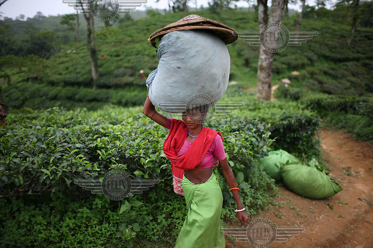 Workers carry bundles of tea at the Surma Tea Estate in Sylhet, which at over 8,000 acres is one of the largest plantations in Bangladesh. The workers are employed six days a week, from 9.30 am to 5 pm. A week's work earns them around 210 taka (3 USD). Tea is a major industry in Bangladesh, and the plantation workers in Sylhet are made up mostly of the indegenous group called the Santals. Plucking is a specialised skill. Two leaves and a bud need to be plucked in order to get the best taste and profitability.