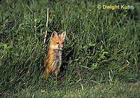 FX03-006z  Red Fox - several months old - Vulpes vulpes