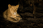 African Lion (Panthera leo) cub at night, Kafue National Park, Zambia