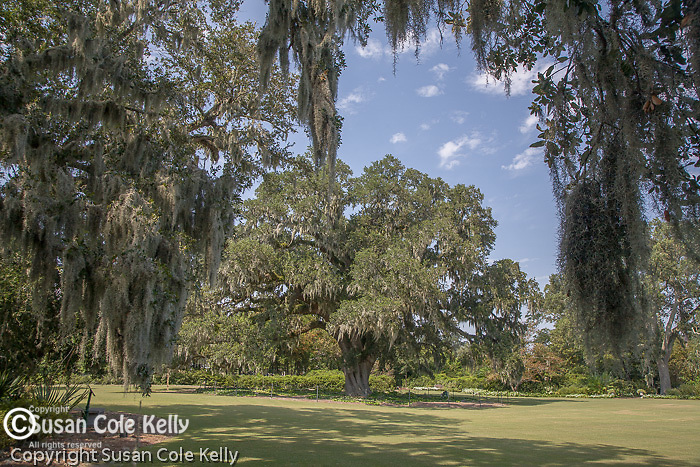 The 450-year-old Airlie Oak at Airlie Gardens, Wilmington, NC