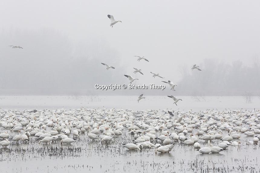 Snow geese land in a wetland pond, Merced NWR, California.