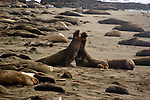 Two bull elephant seals (Mirounga angustirostris) square off, with violent results for the loser. California coast.