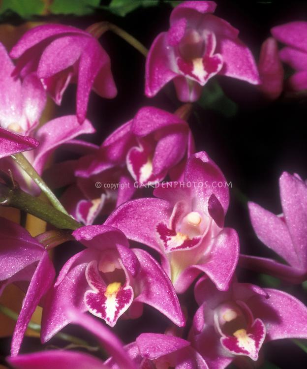 Dendrobium kingianum Orchid Species