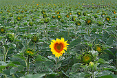 Tom Mackie, FLOWERS, photos, Heart shaped Sun Flower, Alpes de Haute, Provence, France, GBTM080177-1,#F# Garten, jardín