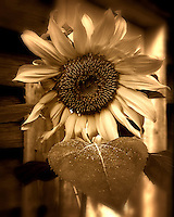 Sepia Sunflower