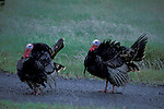 Male wild Turkey Meleagris gallopavo displays plumage while walking on trail through grass field, Cambria, California