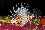 Dendrochirus zebra, Zebra lionfish, Raja Ampat, Indonesia
