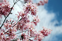 Stock photo - Refreshing pink cherry blossom branches against clouds and blue sky.