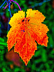 Colorful turning grape vine leaves in autumn, Peek Hill, Jackson, Calif.