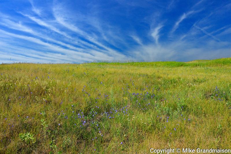 Harebells (Campanula rotundifolia) on a Prairie landscape<br /> Baljennie<br /> Saskatchewan<br /> Canada