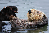 A white faced adult sea otter (Enhydra lutris nereis) is grooming his hind flippers, Moss Landing in the Monterey Bay National Marine Sanctuary.