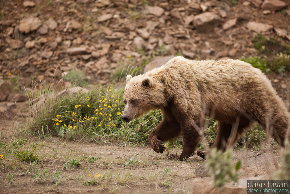 This grizzly bear came strolling down a hillside and walked right past the park bus we rode, as if it wasn't even there. Official estimates suggest that approximately 300 grizzly bears live in Denali National Park.